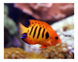 Flame Angelfish with Coral Reef