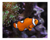 Ocellaris Clownfish and Frogspawn Coral