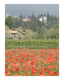 The Poppies at Castello D' Aviano