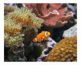 Ocelllaris Clownfish Among Corals - Coral Reef