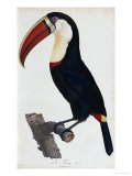 Hand Coloured Engraving of a Toucan  1806