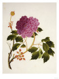 Double Pink Tree Peonies  Chinese Watercolour Drawing on Paper  circa 1800