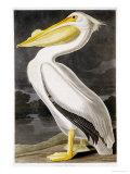 Pélican blanc américain Giclée par John James Audubon