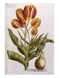 Tulips  17th Century