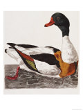 Hand Colored Engraving of a Duck  1766