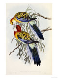 Eastern Rosella (Platycercus Eximius)  First Edition  1840-1869