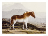 The Quakah  Aquatint from &quot;African Scenery and Animals&quot;