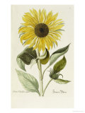 Hand Coloured Engraving of a Sunflower
