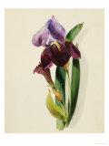 A Flag Iris