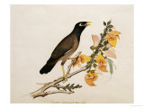 A Minah Bird Perched on a Flowering Branch  Calcutta School  circa 1800
