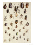 Thirty-Four Insects  Laid Out in a Semi-Circular Array Mostly of the Order Coleoptera (Beetle)