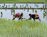 Paddy Fields of Tamil Nadu