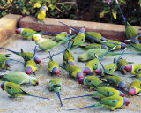 Parrots of Rajasthan