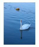 Swan in Rockport 1