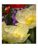 California Poppy Pair