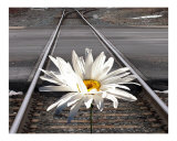 Daisy on the Tracks