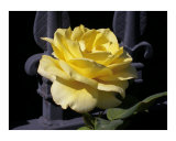Yellow rose  Iron gate