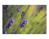 Lavender Dream