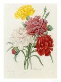 Carnation  circa 1833