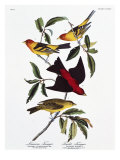 Louisiana Tanager and Scarlet Tanager