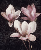 Pink Magnolias II