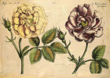 DePasse Elephant Roses I
