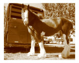 Clydesdale Horse