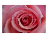 in Rose