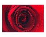 Sumi Rose