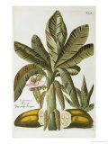 Banana  from J Weinmann's Phytanthoza Iconographia  1734-45