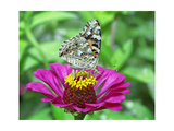 Feeding on Zinnia