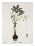 """Saffron Crocus from """"Phytographie Medicale"""" by Joseph Roques  Published in 1821"""
