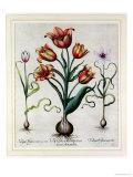 Tulipa Perfica Non Aperta  Tulipa Polyanthos Pracox  Tulipa Perfica Aperta