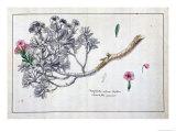 Caryophyllus Arboreus and Seriphius  from a Work by Joseph Pitton De Tournefort
