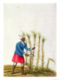 Slave Cutting Sugar Cane  from the Illes De L'Amerique in the Antilles  End of the 17th Century