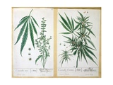 Cannabis Mas and Cannabis Foemina  from 'Herbarium Blackwellianum'  1757