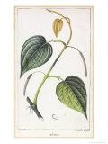 Betel  Botanical Plate  circa 1810