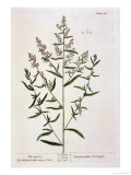 Tarragon  Plate 116 from &quot;A Curious Herbal &quot; Published 1782