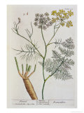 "Fennel  Plate 288 from ""A Curious Herbal "" Published 1782"