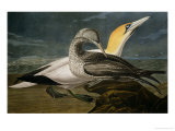 Gannets from &quot;Birds of America&quot;