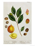 "The Nutmeg  Plate 353 from ""A Curious Herbal "" Published 1782"