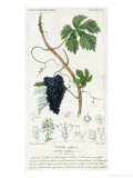 Grape Vine Botanical Plate  circa 1820
