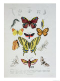 Various Butterflies from &quot;Dictionnaire Elementaire D&#39;Histoire Naturelle&quot;