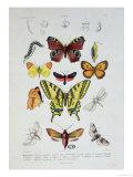"""Various Butterflies from """"Dictionnaire Elementaire D'Histoire Naturelle"""""""