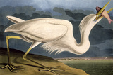 Great White Heron from &quot;Birds of America&quot;