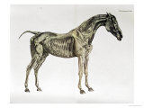 "Third Anatomical Table  from ""The Anatomy of the Horse"""