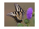 Butterfly feeding on Thistle