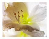 271 White Amaryllis
