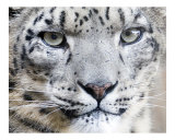 275 Snow Leopard Up Close!