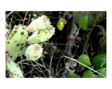 Prickly Pear and Wild Grapes Face Off